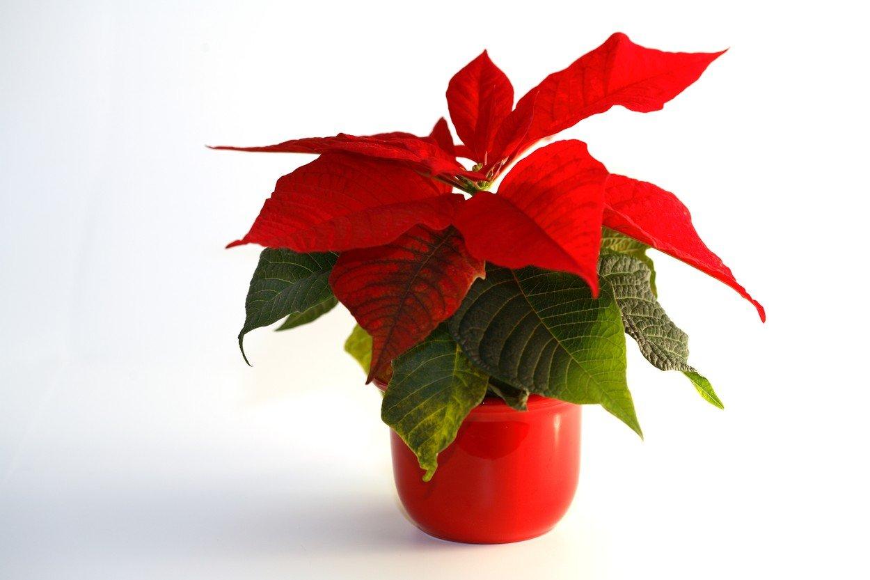 Negujte Božićnu Zvezdu Ovo Je Cvet čiji Su Listovi Najlepši